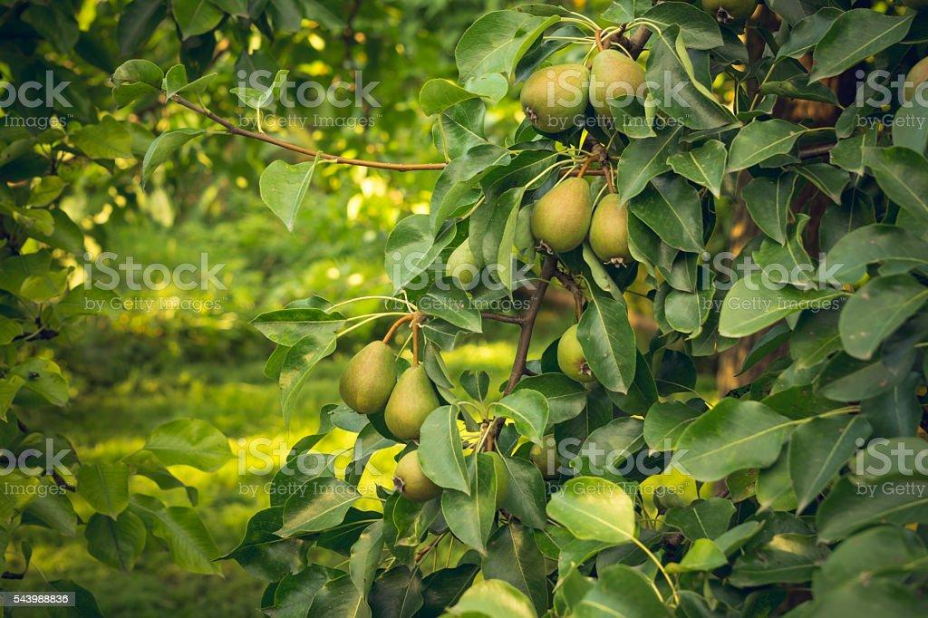 Summer harvest of pear  Duchess varieties stock photo