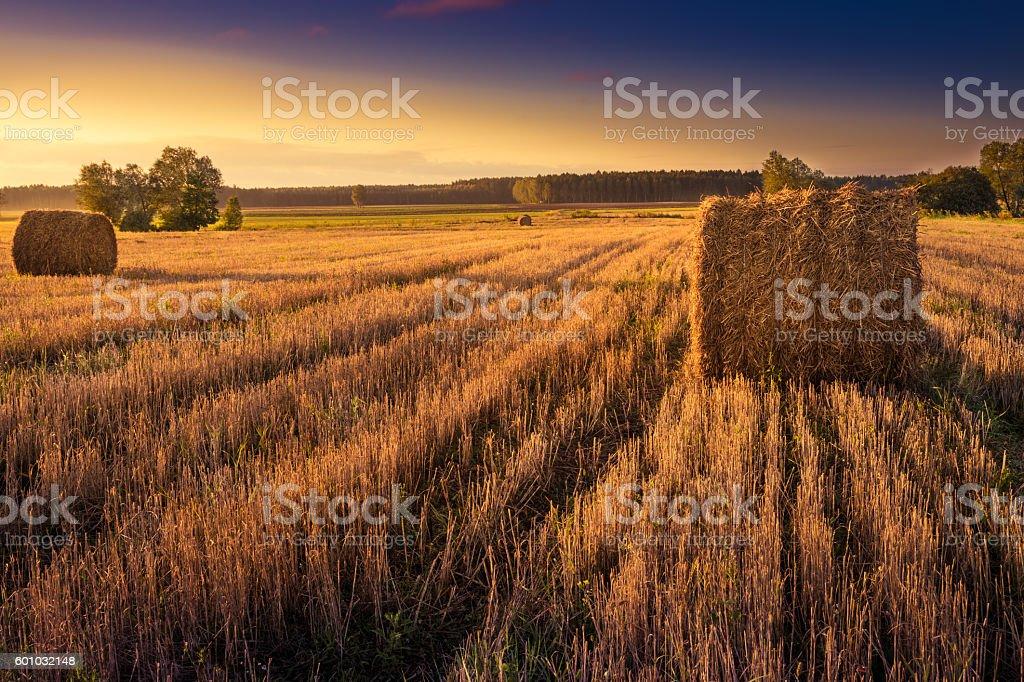 summer haystacks on a wheat field stock photo