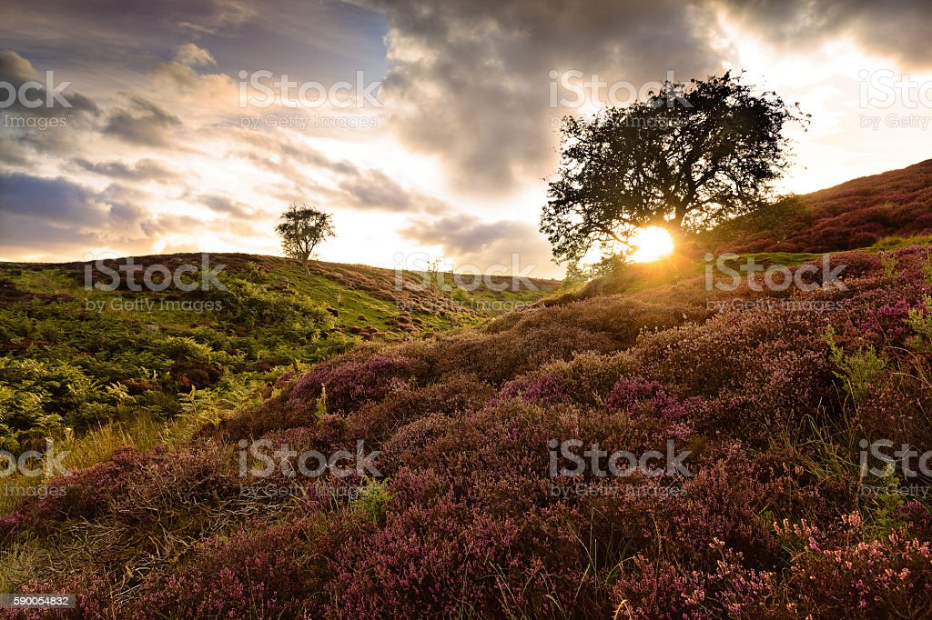 Summer Heather at dusk - Yorkshire Dales stock photo