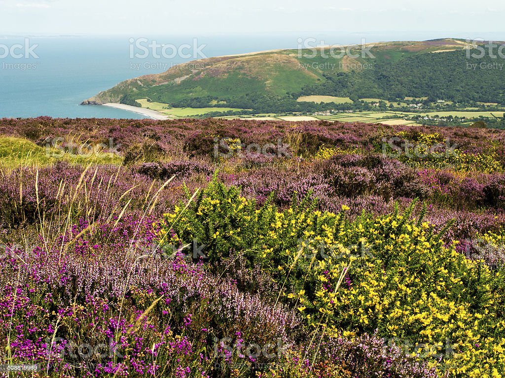Summer Heather & Gorse Exmoor Somerset stock photo