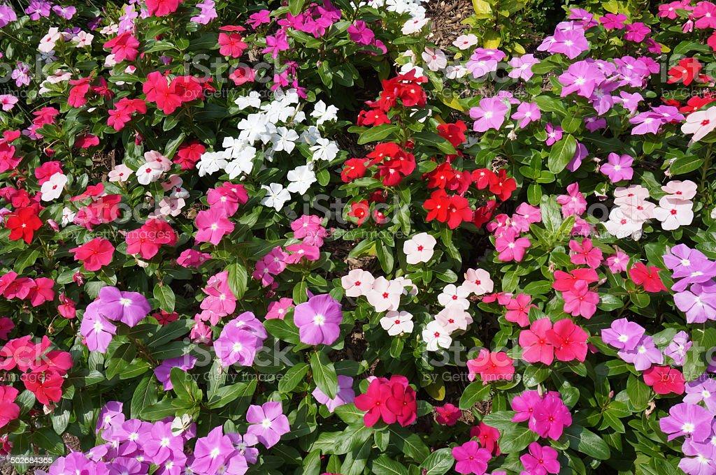 Summer Impatiens Flowers stock photo
