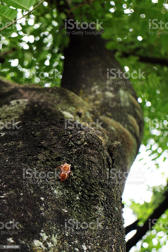Summer in Japan.Cicada's Shell, Hanging onto a Tree stock photo