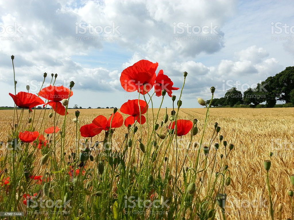 Summer in rural England, poppies and barley, Suffolk stock photo