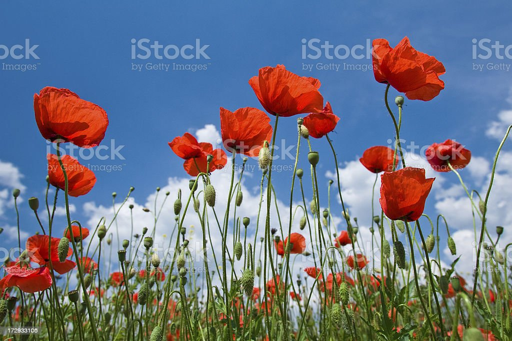 Summer is coming - Red poppies on the blue sky royalty-free stock photo