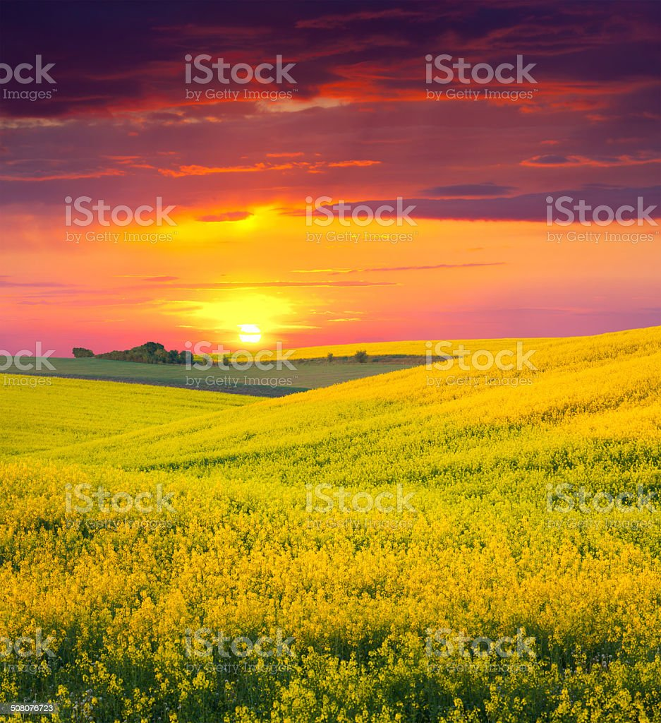Summer Landscape with a field of yellow flowers. stock photo
