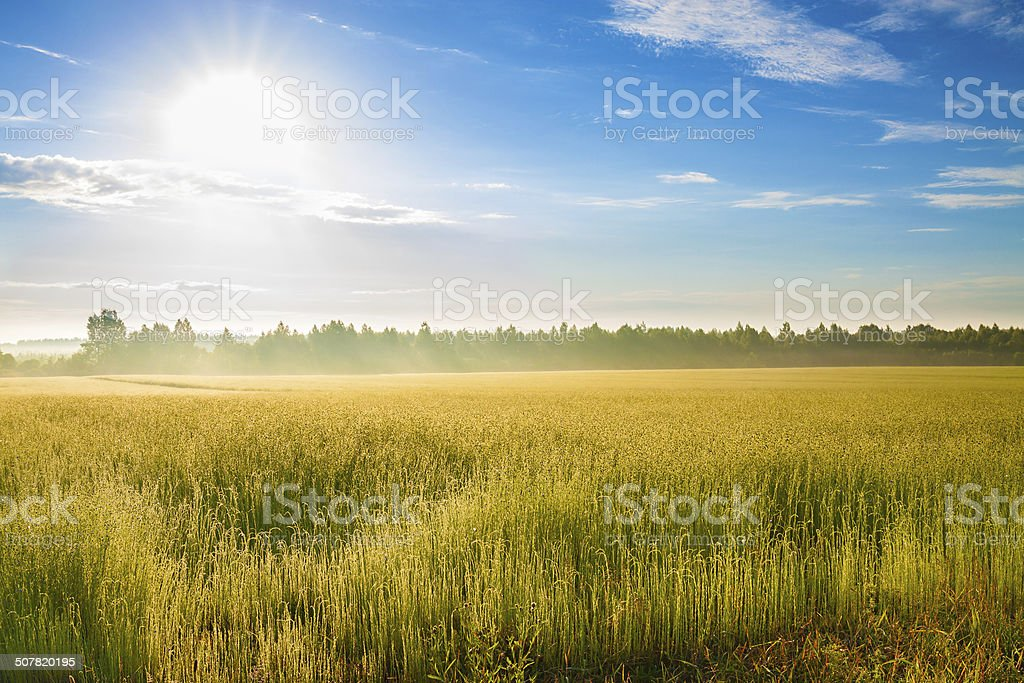 summer  landscape with a field, sunrise and fog stock photo