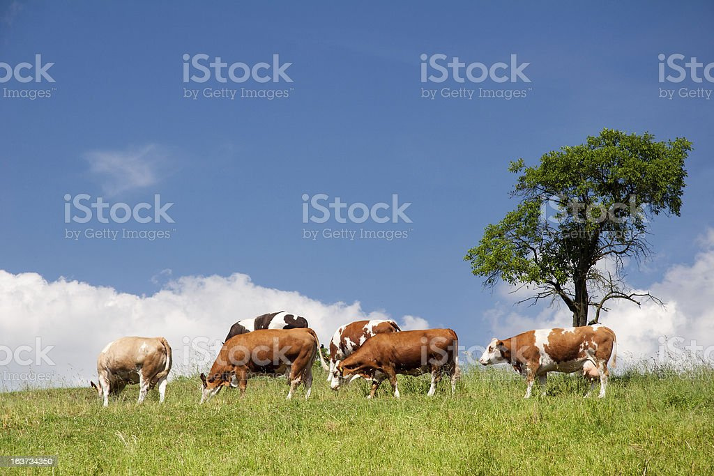 Summer landscape with cows stock photo