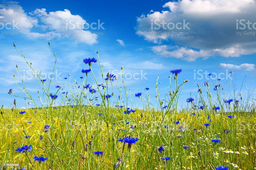 Summer landscape with flower meadof and clouds. stock photo