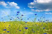 Summer landscape with flower meadof and clouds.