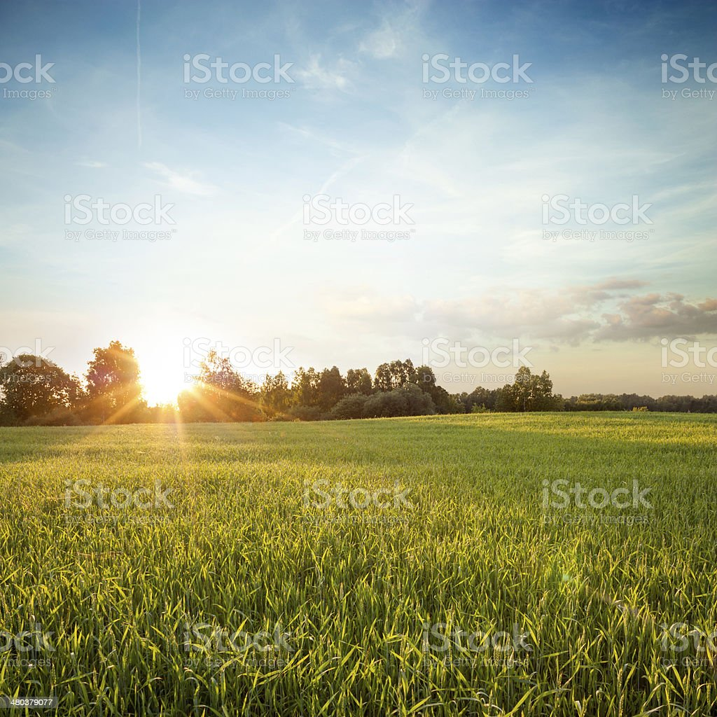 Summer Landscape with Green Field at Sunset stock photo