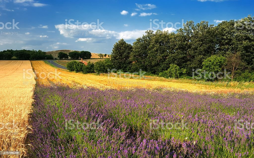 Summer landscape with lavender field, wheat and trees stock photo