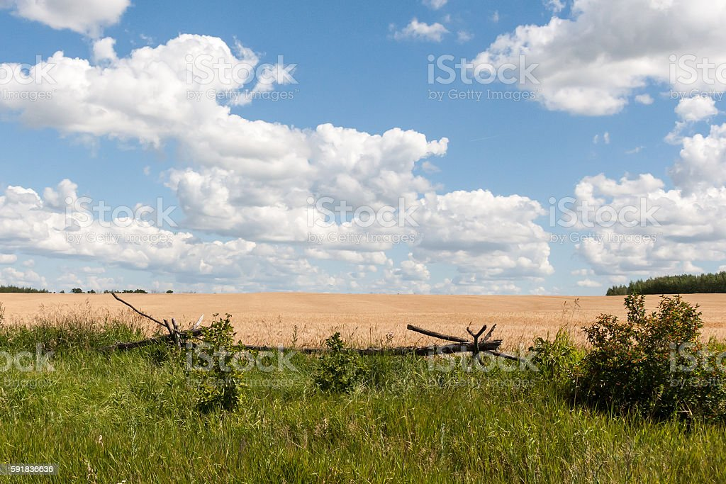 summer landscape with the field stock photo