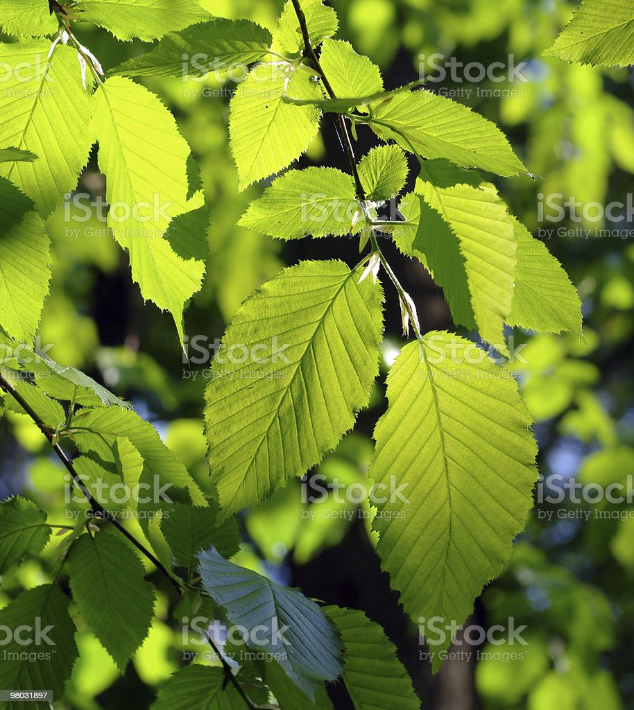 Summer leaves. stock photo