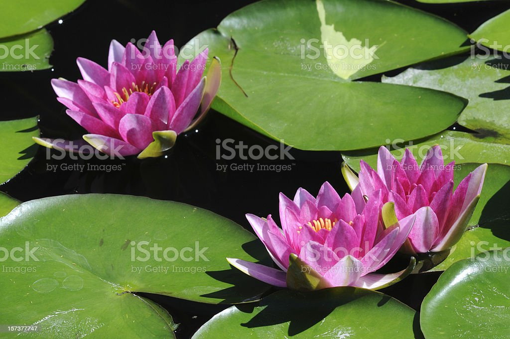 Summer Lily Pond royalty-free stock photo