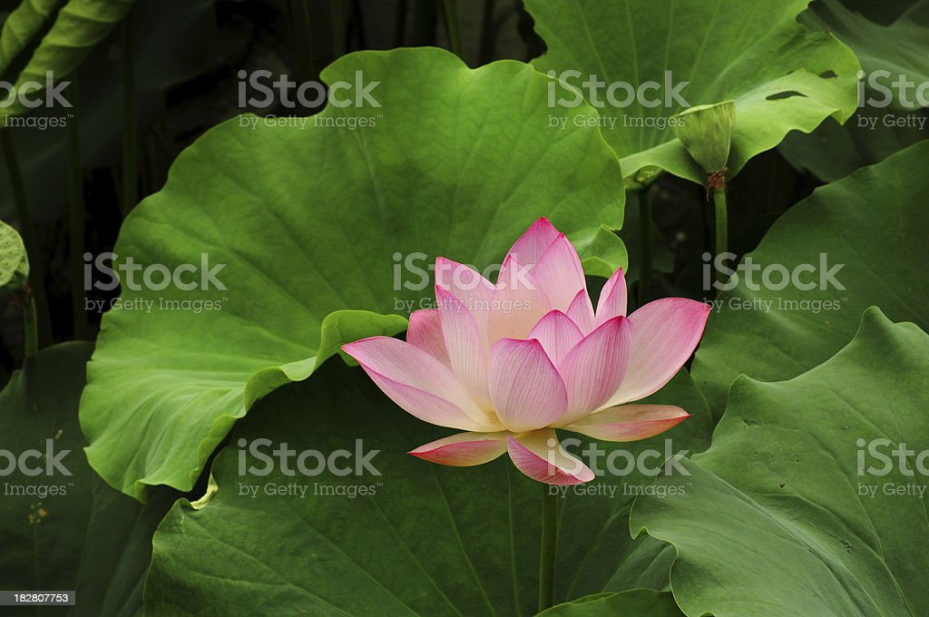 Summer Lotus in pond royalty-free stock photo