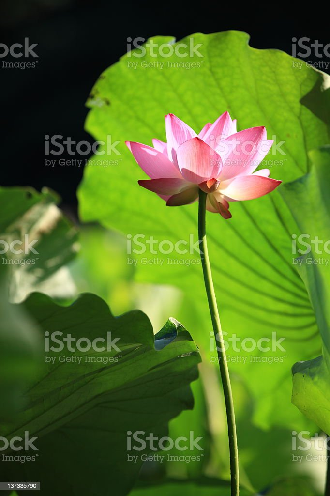 Summer lotus stock photo