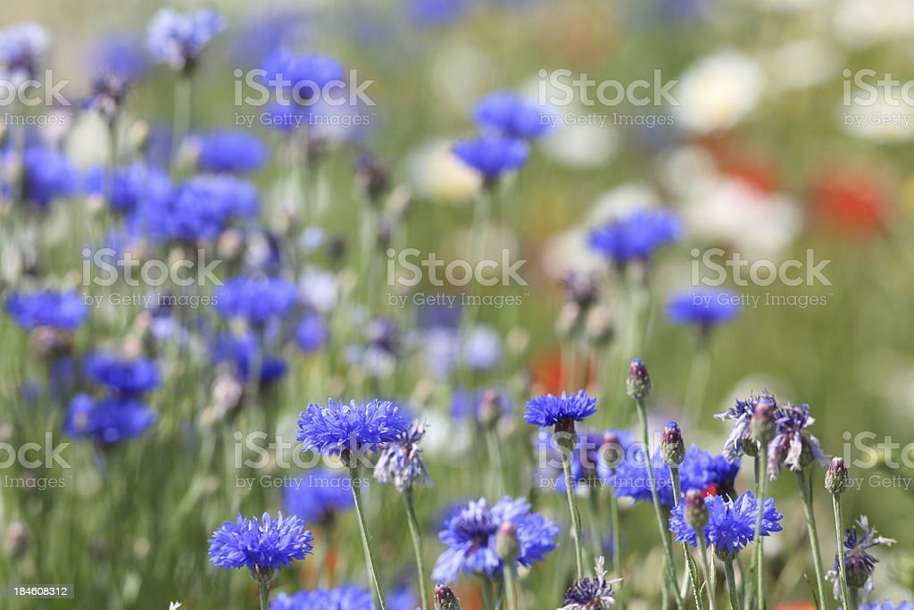 summer meadow and blu blooming corn flowers royalty-free stock photo