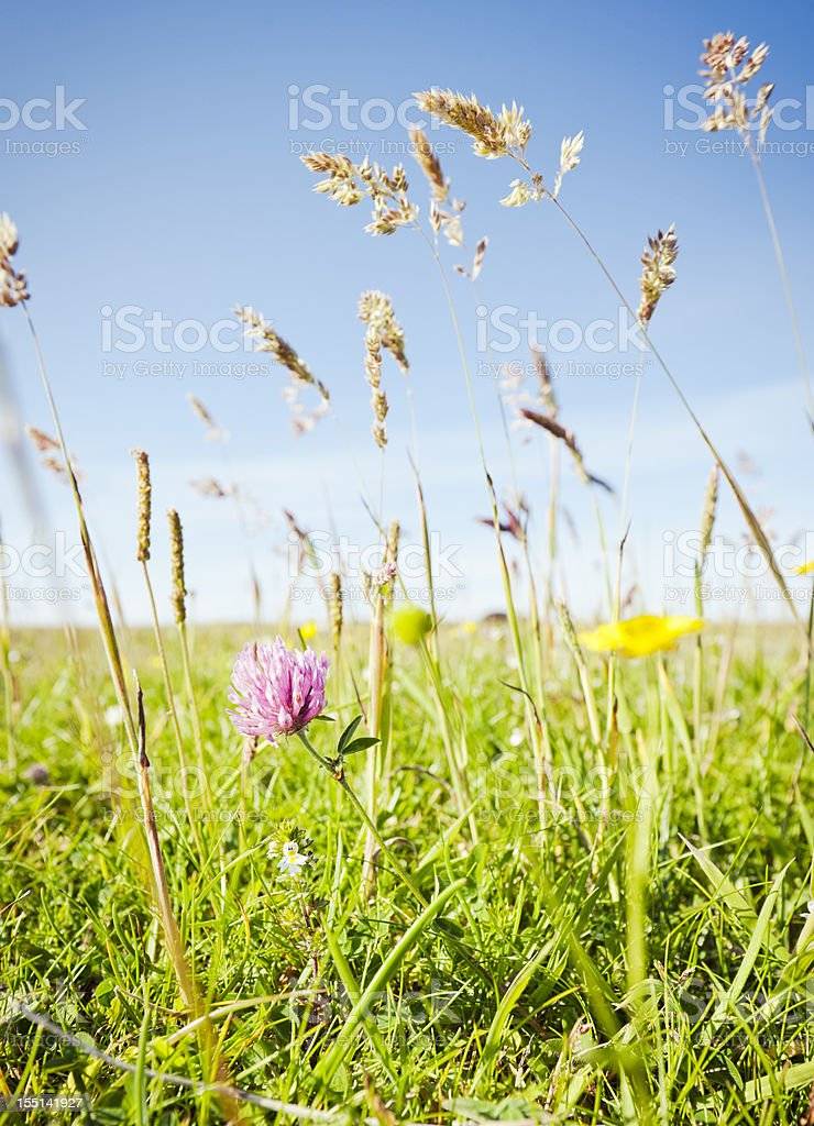 Summer Meadow Clover royalty-free stock photo