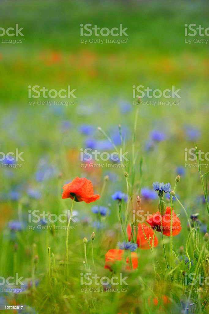 Summer Meadow III royalty-free stock photo