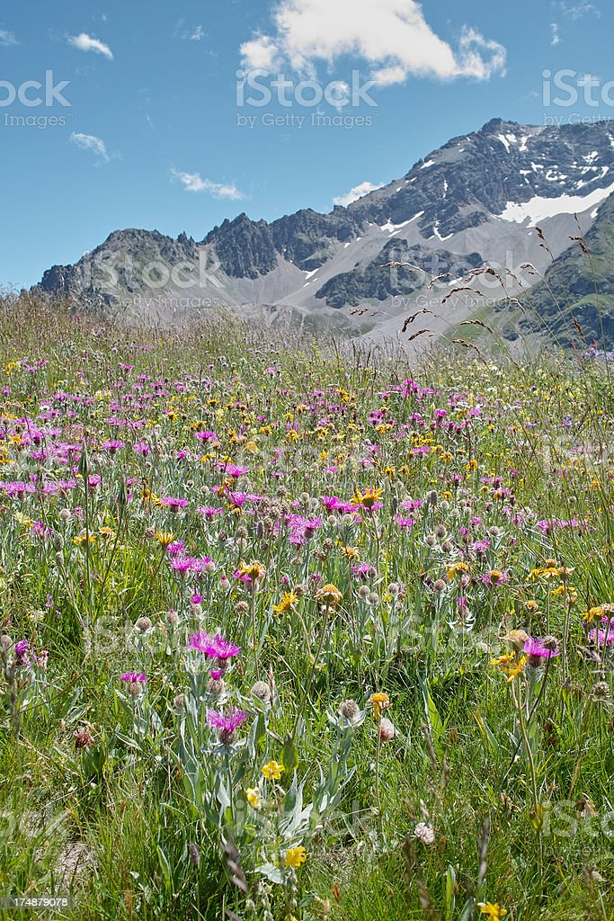 summer meadow in alpine landscape royalty-free stock photo