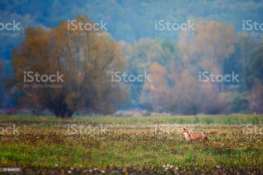 Summer meadow in the evening with fox and willow tree stock photo