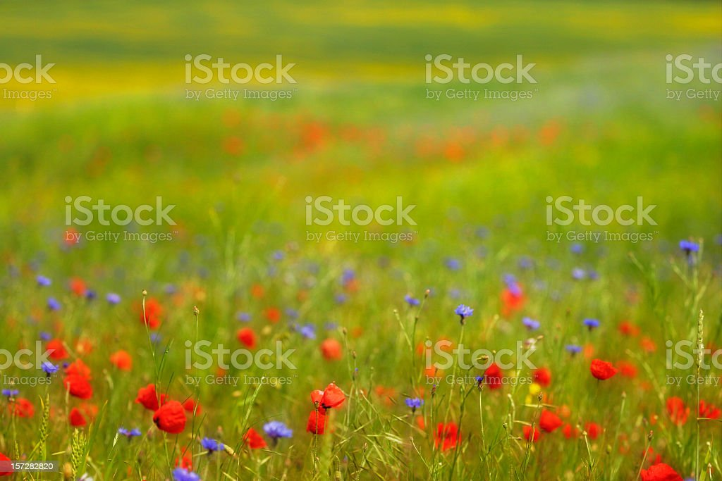 Summer Meadow IV stock photo