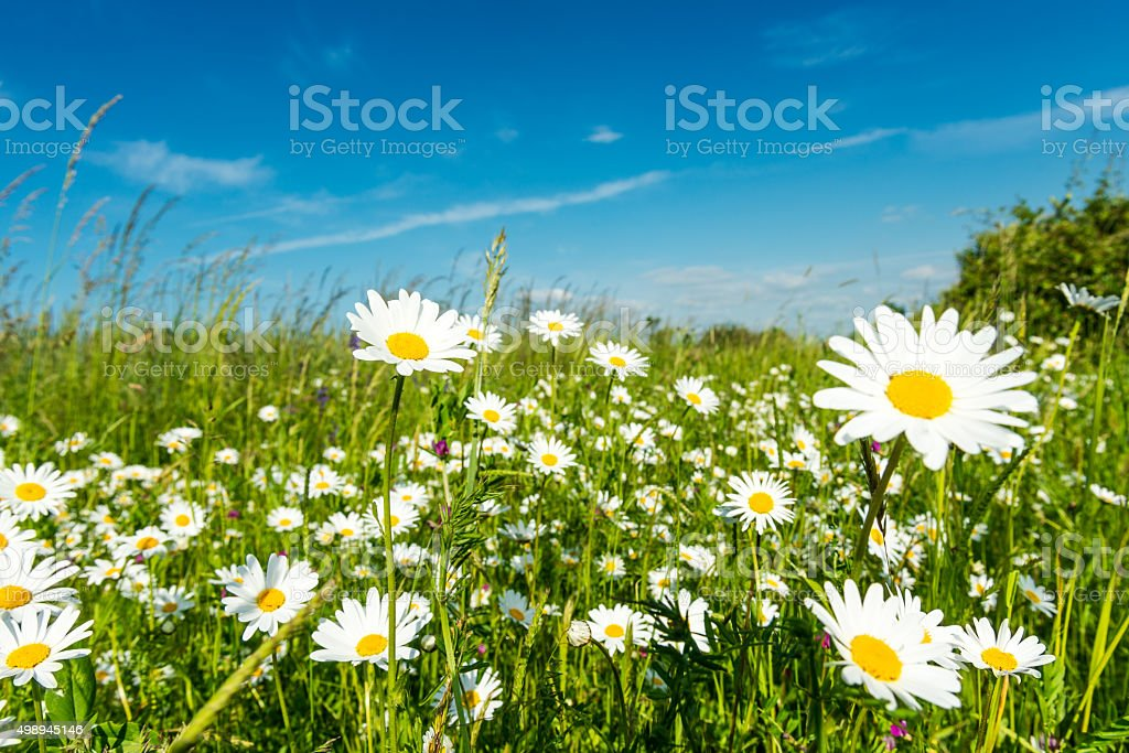 A summer meadow in Germany.
