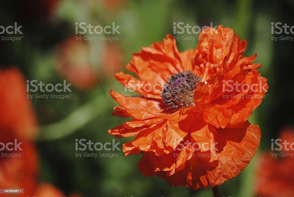 Summer Meadow Poppy royalty-free stock photo