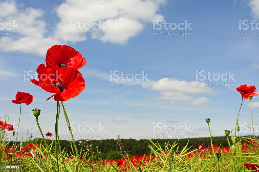 Summer meadow scene of red poppies, blue sky and clouds royalty-free stock photo