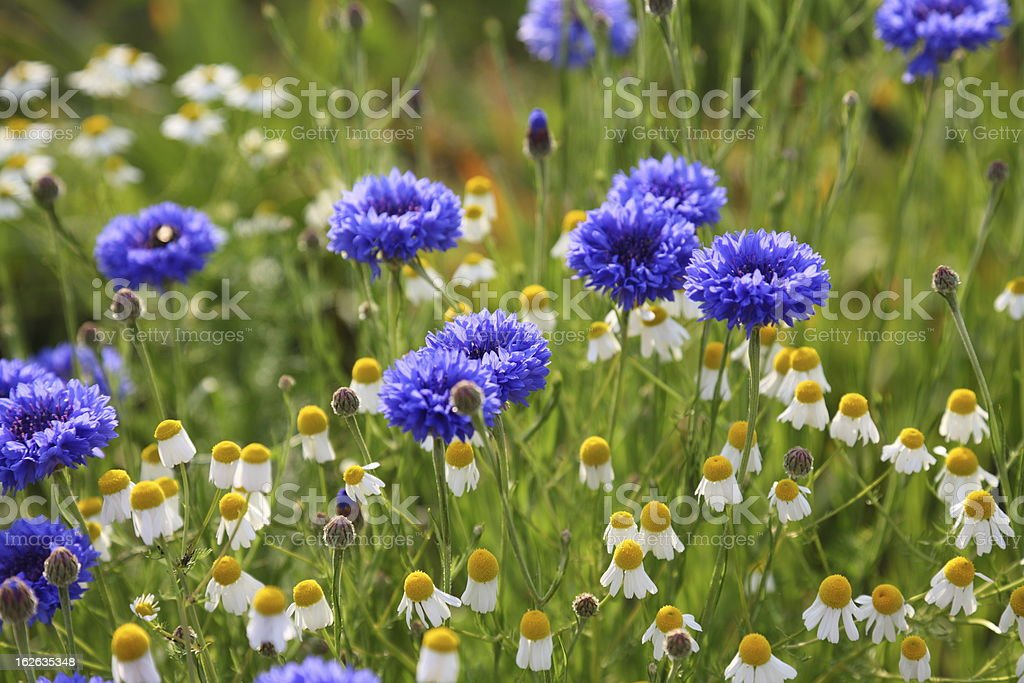 summer meadow with cornflowers and camomile  Matricaria recutita royalty-free stock photo