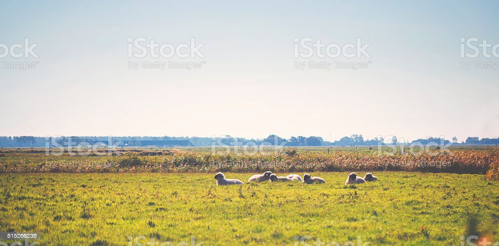 Summer meadow with sheeps stock photo