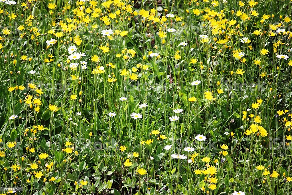 Summer meadow with white daisies stock photo