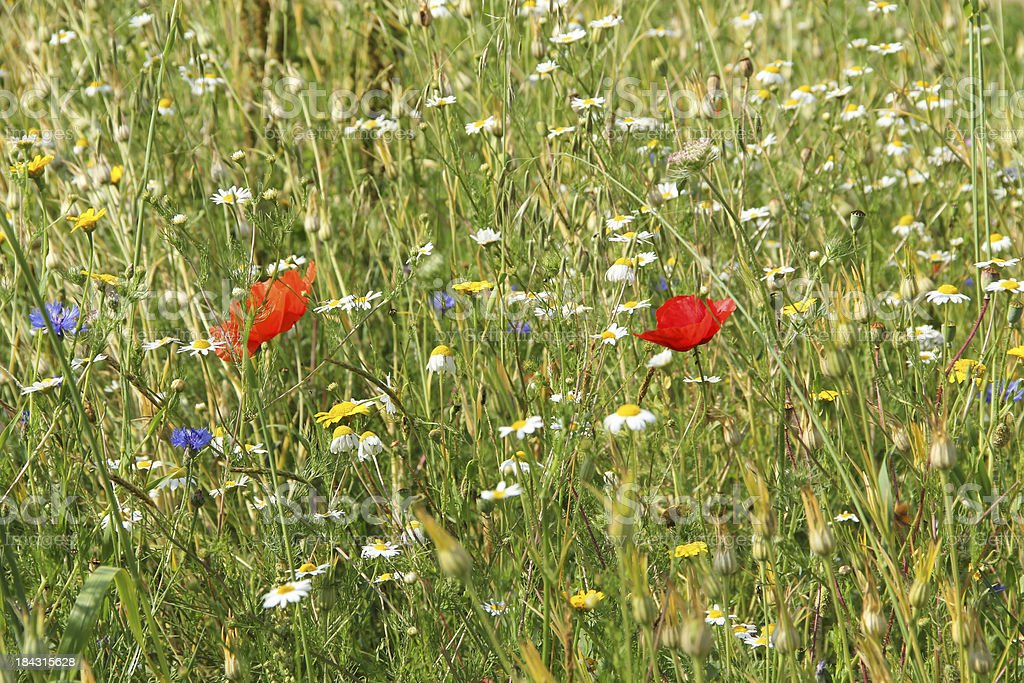 Summer meadow with wild flowers royalty-free stock photo