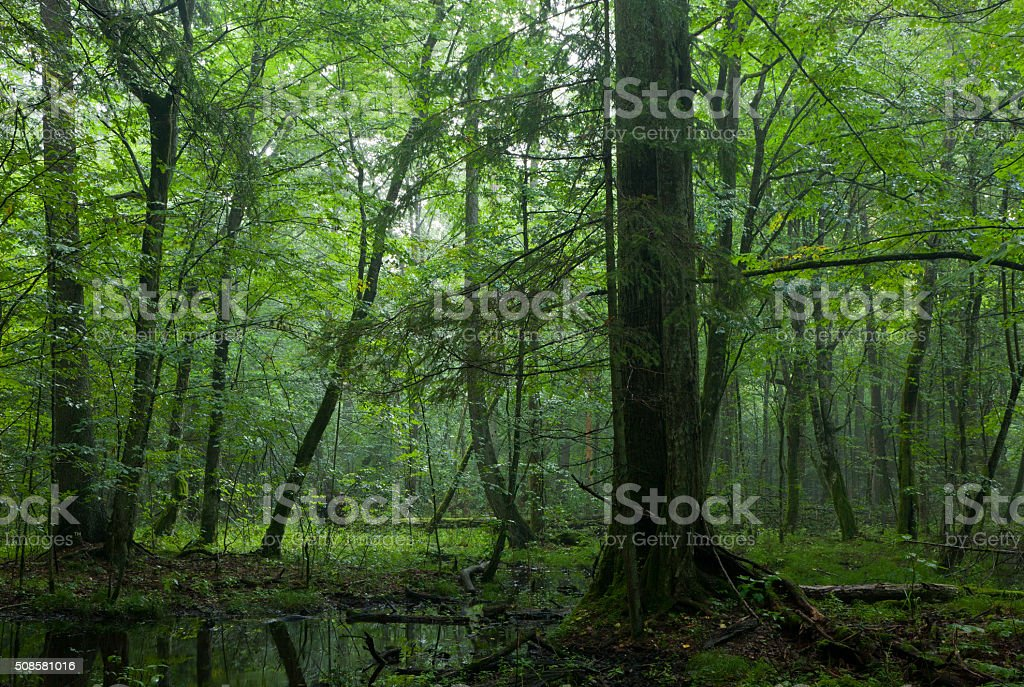 Summer midday with light entering rich deciduous stand stock photo