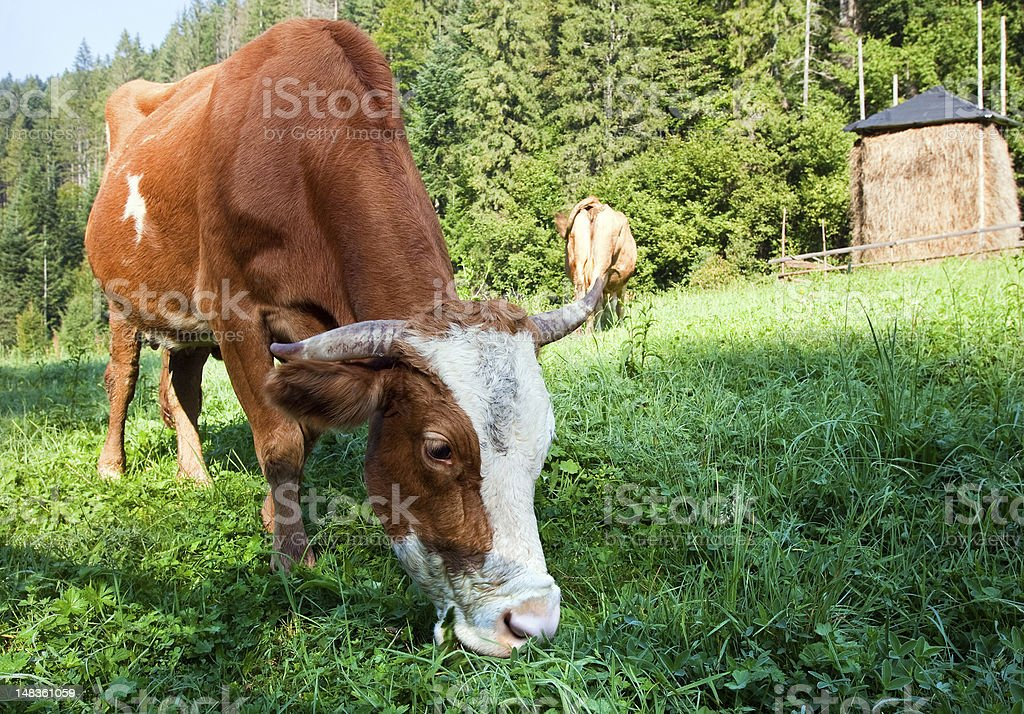 Summer morning country landscape with cows royalty-free stock photo