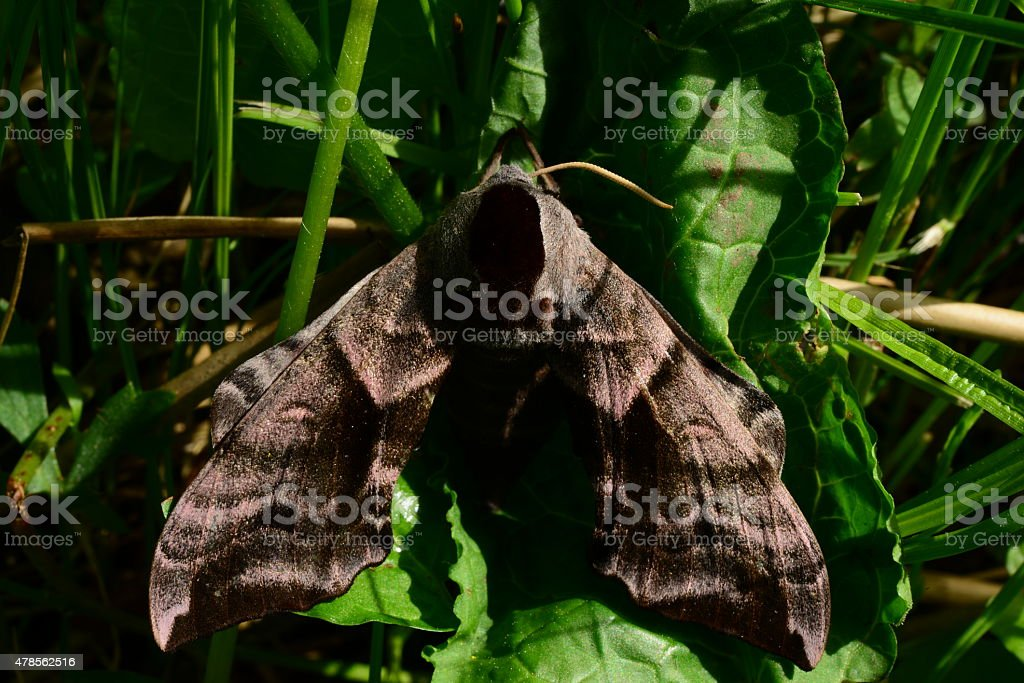 Summer morning hiding in the grass Butterfly smerinthus ocellatus stock photo