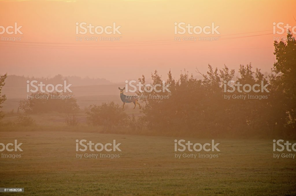 Summer morning mist over field and bushes Whitetail deer stock photo