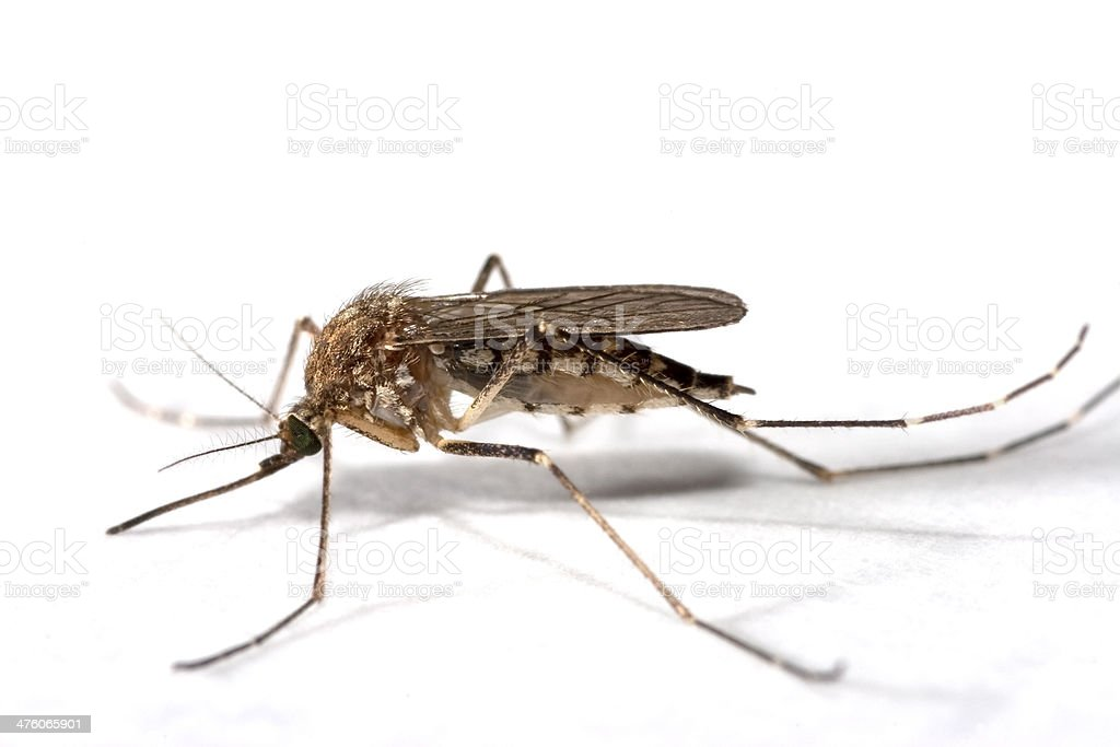 Summer mosquito close-up Colorado copy space royalty-free stock photo