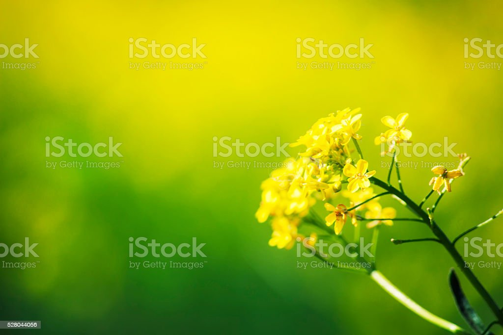 Summer natural background with yellow blooming rape field stock photo