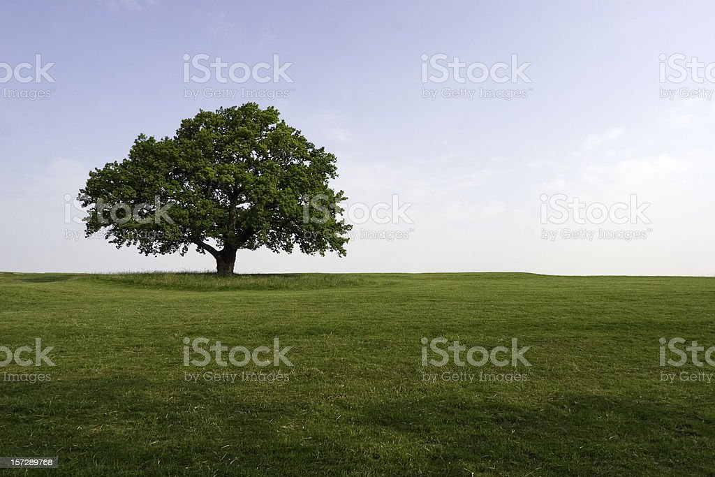 Summer Oak stock photo