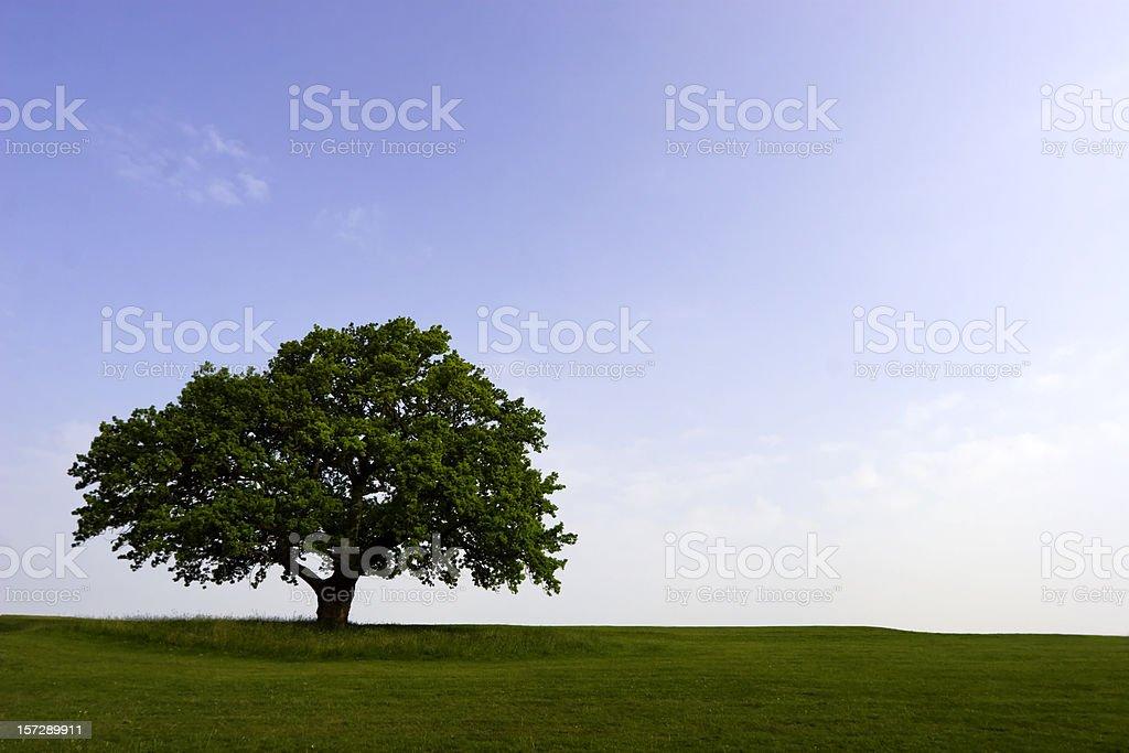 Summer Oak stock photo