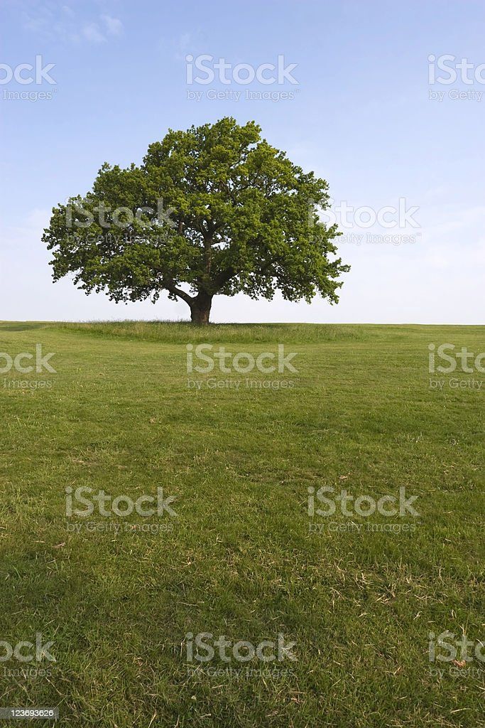 A summer oak tree on a sunny day royalty-free stock photo
