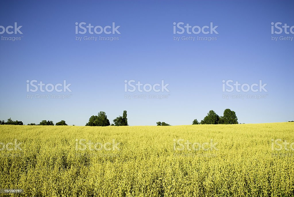 Summer Oats Field royalty-free stock photo