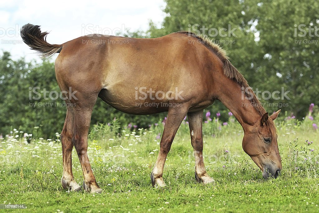 Summer pasture royalty-free stock photo