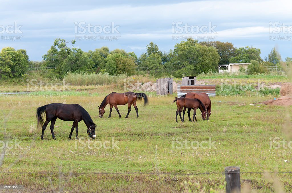 Summer pasture with horses stock photo