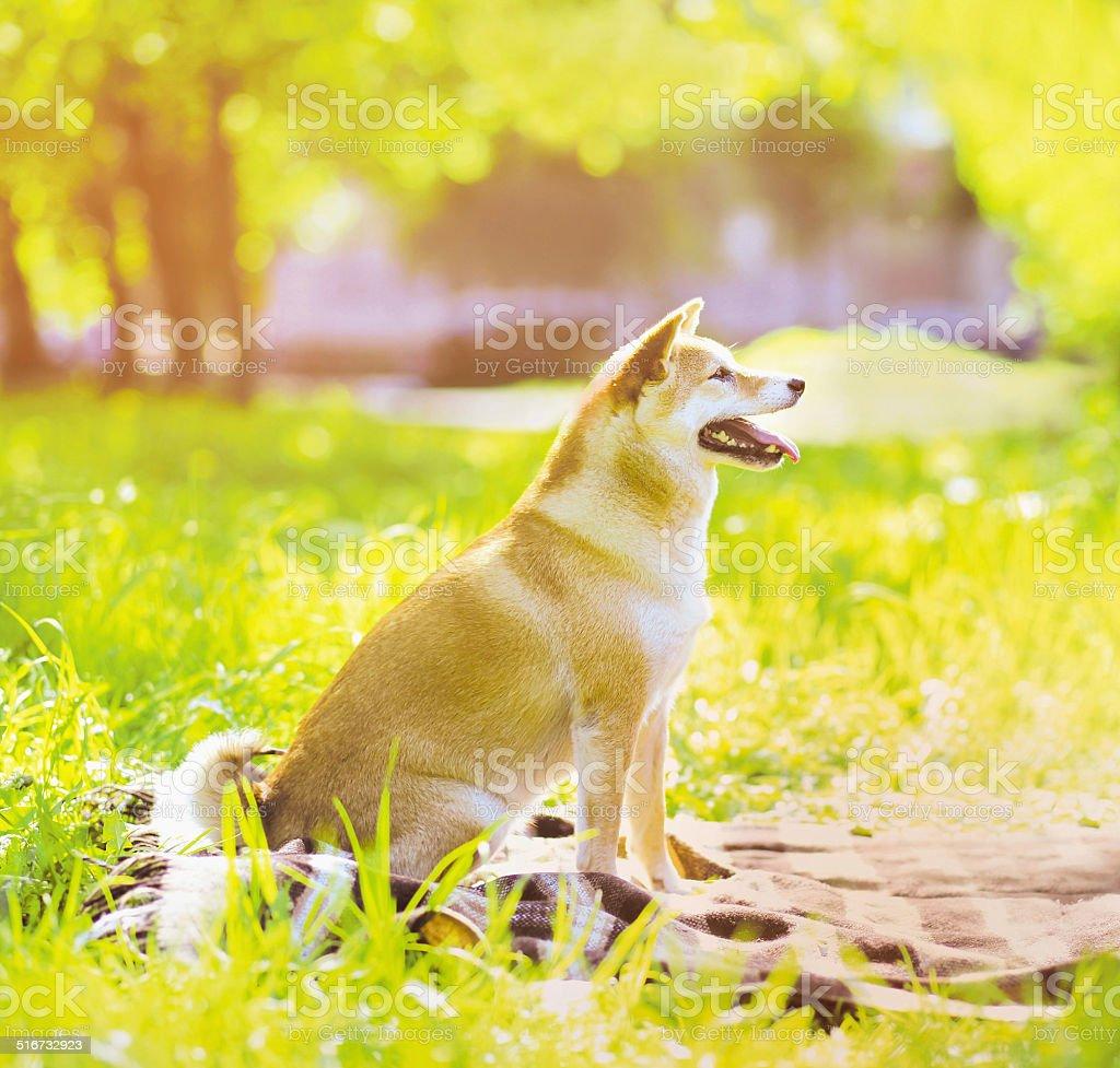 Summer photo happy joyful dog Shiba Inu stock photo
