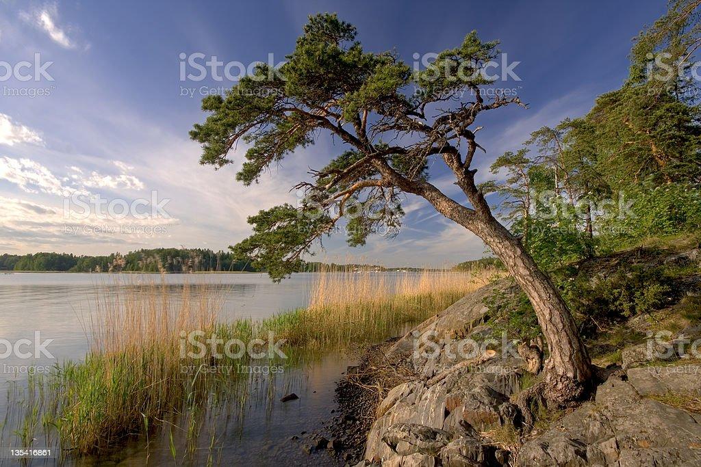 Summer pine royalty-free stock photo