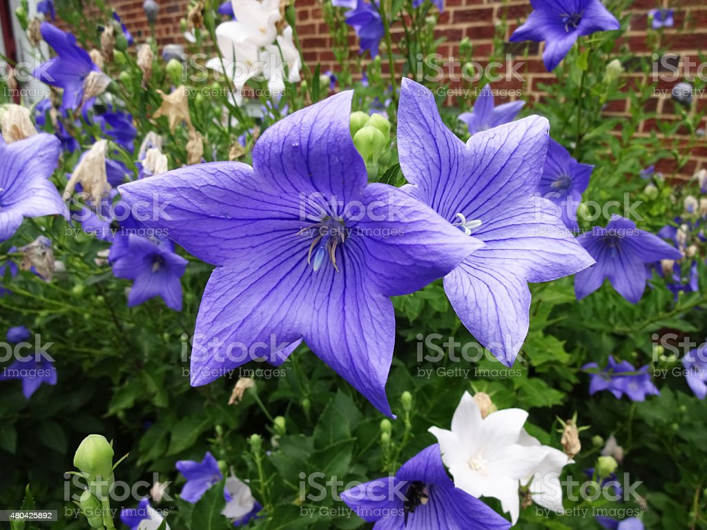 Summer Platycodon Flowers stock photo