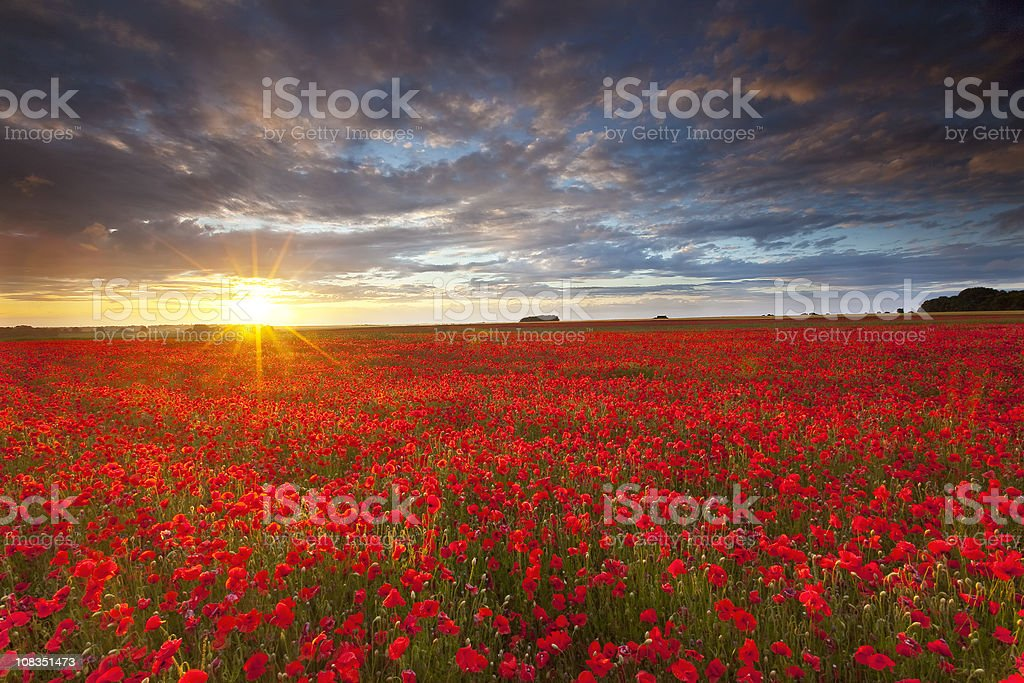 Summer poppies at sunset stock photo