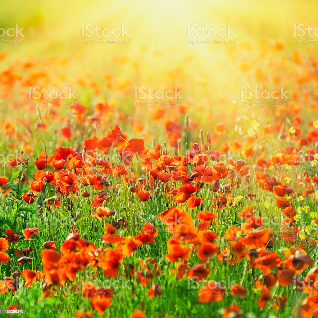 Summer poppies at sunset time royalty-free stock photo